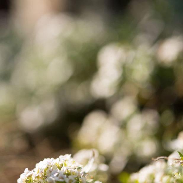 pemandangan blur bunga iPhone7 Plus Wallpaper