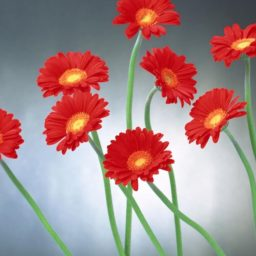 自然花赤の iPad / Air / mini / Pro 壁紙