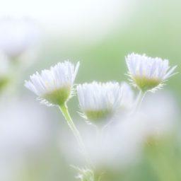 自然花白の iPad / Air / mini / Pro 壁紙