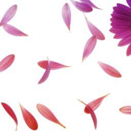 花びらクールの iPad / Air / mini / Pro 壁紙