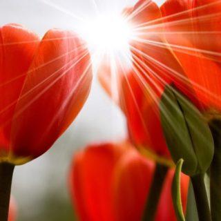 自然花赤の iPhone4s 壁紙