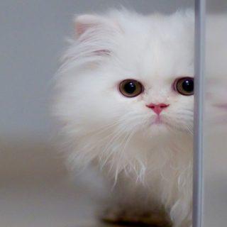 猫白の iPhone4s 壁紙