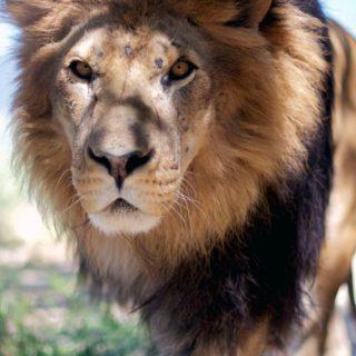 動物ライオンの iPhone4s 壁紙
