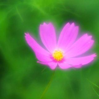 自然花紫の iPhone4s 壁紙