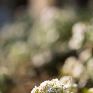 花ぼかしの iPhone4s 壁紙