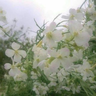 花 白の iPhone5s / iPhone5c / iPhone5 壁紙