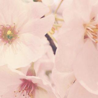 桜 花びらの iPhone5s / iPhone5c / iPhone5 壁紙