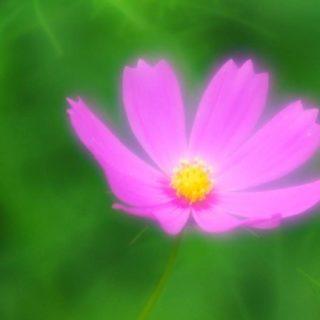 自然花紫の iPhone5s / iPhone5c / iPhone5 壁紙