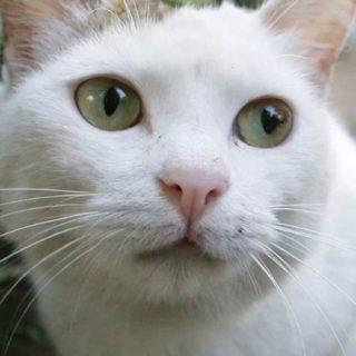 猫白の iPhone5s / iPhone5c / iPhone5 壁紙
