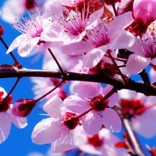 自然花桃の iPhone5s / iPhone5c / iPhone5 壁紙