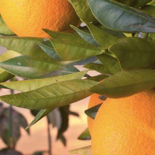果物緑風景橙フードの iPhone5s / iPhone5c / iPhone5 壁紙
