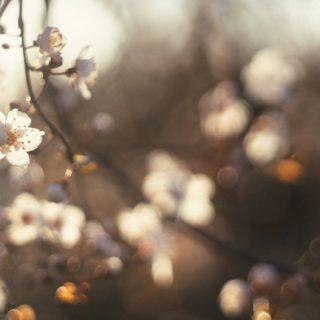 風景桜花の iPhone5s / iPhone5c / iPhone5 壁紙