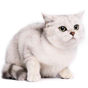 ペルシャ猫の iPhone6s / iPhone6 壁紙