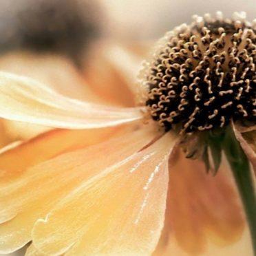自然花黄の iPhone6s / iPhone6 壁紙