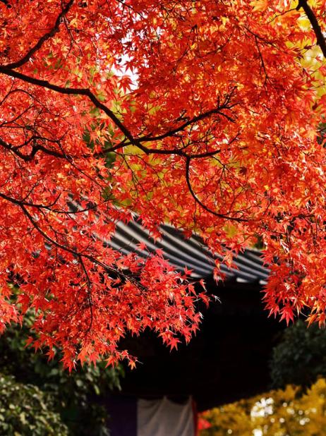 紅葉 もみじ 秋 壁紙の iPhone6s Plus / iPhone6 Plus 壁紙