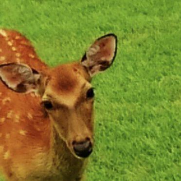 鹿 動物の iPhone7 壁紙