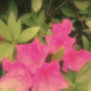 ツツジ 花の iPhone7 壁紙