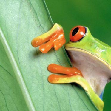 動物カエル緑の iPhone7 壁紙