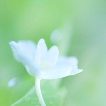 自然花白の iPhone7 壁紙
